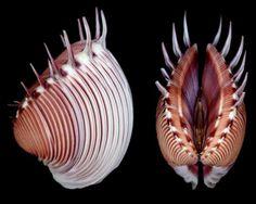 Pitar dione. Family: Veneridae