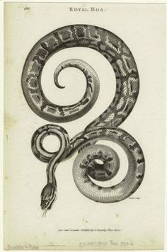 Royal boa. (1802)