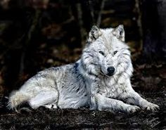 albino wolf pictures - Google Search