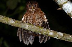 Camiguin hawk owl.