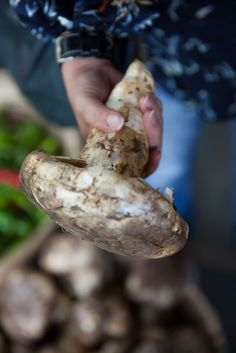 The legendary matsutake mushrooms that dwarved my hand! These are organic and command a high price in Japan.
