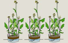 Wisconsin Fast Plants® Program Suggestions on how to easily grow plants.