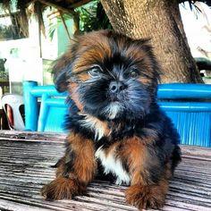Beautiful Shihtzu puppy
