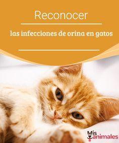 Reconocer las infecciones de orina en gatos Las infecciones de orina en gatos son más comunes de lo que creemos. No obstante, hay cosas que podemos hacer por evitarlas. #infección #gatos #evitarlas #alimentación