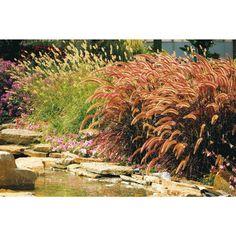 Prairie Winds Desert Plains Fountain Grass (Pennisetum) Live Plant, Green Foliage and Purple to Tan Flowers, 3 Gal.