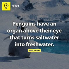 This, my friend, is just one of the many reasons why penguins are amazing! #AmazingFacts