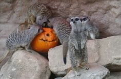 "Zoo Animals Celebrate Halloween    ""Yayyyyyyy we get to eat pumpkins!"""