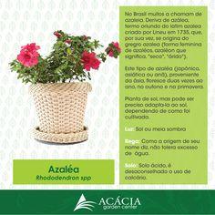 Azaléia ou azalea Saiva como cuidar de suas plantas e seu jardim