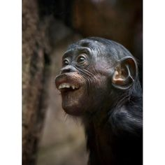 A Bonobo making funny faces like all kids do!