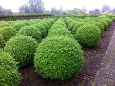 Buxus topiary Buxus, Topiary, Stepping Stones, Gardening, Outdoor Decor, Plants, Home Decor, Stair Risers, Lawn And Garden