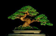 bonsai name:: premna mycrophylla tree height : 33 cm long pot : 38 cm high pot : 9 cm design gede merta collection gede merta