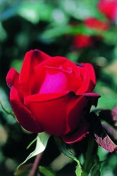 Ruby Wedding Anniversary Rose 67 Courtesy Of The Gluttunous Gardener Plus It Comes With A