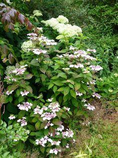 """Hydrangea serrata """"Beni Yama"""" (juste devant """"Annabelle"""" que l'on retrouve partout dans le jardin !) :"""