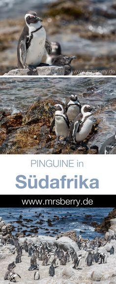 Pinguine in Südafrika | MrsBerry`s Reisetipps für eine Rundreise in Südafrika