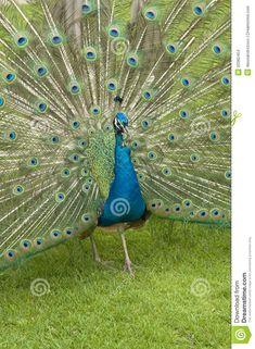 Male Peacock, Indian Peacock, Peafowl, Stock Photos, Bird, Peacock, Birds