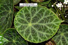 Begonia geogoensis 01