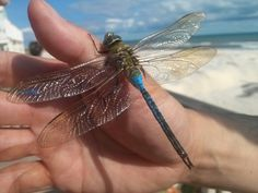 These are the beautiful Dragonflies of the two Dragonfly families who come to our Asian Koi Pond each year! Beautiful Bugs, Beautiful Dragon, Beautiful Butterflies, Blue Dragonfly, Dragonfly Tattoo, Flying Insects, Bugs And Insects, Weird And Wonderful, Beautiful Creatures