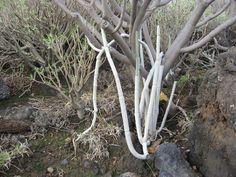 Ceropegia fusca - in habitat.