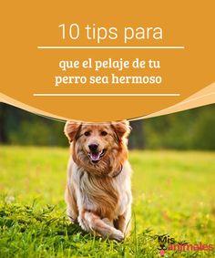 10 tips para que el pelaje de tu perro sea hermoso   Como dueño, seguro que quieres que el pelaje de tu perro sea brillante y sobre todo sano. Con estos tips podrás conseguir que el de tu perro sea así. #pelaje #perro #salud #hermoso