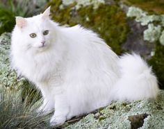 This is a Turkish Angora...and he looks SO much like Charmin. Deductive reasoning tells me Charmin must be a Turkish Angora!