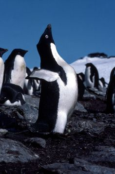 Male Adelie Penguin displaying for a mate