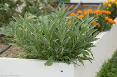 Salvia, Herbs, Medicine, Therapy, Plant, Sage, Herb, Medicinal Plants