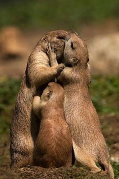 """Prairie Dogs, The Youngster saying:  """"Hey Mom & Dad, I need a hug and a kiss too!"""""""