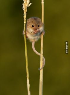 The harvest mouse isn't just the smallest British rodent, it's also the only one to have a prehensile tail!