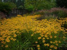Nyáron, de még a vénasszonyok nyara idején is virágzik a borzas kúpvirág, és nap sárga szirmú virágai ősszel is a nyár melegét idézi.