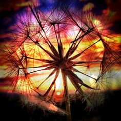 Sunset and Dandelion
