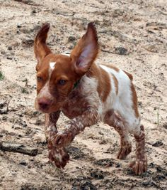 Prefontaine the Brittany