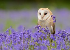 Barn Owl and Bluebells | von tuftytowers | Flickr