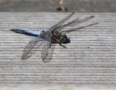 Wunderbare Motive im Spätsommer | Libellen genießen die Sonne des Spätsommers (c) Frank Koebsch(1)