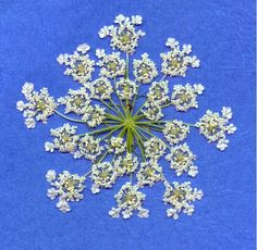Queen Anne's Lace is another beautiful fractal in Nature