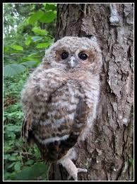 Tawny Owl Strix aluco - Google Search
