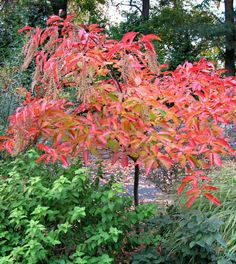 Beautiful fall color of the Sourwood (Oxydendron arboreum)