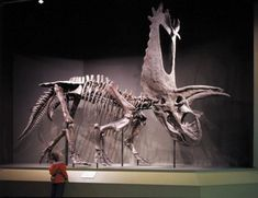 Pentaceratops is a genus of herbivorous ceratopsid dinosaur from the late Cretaceous Period of what is now North America. Pentaceratops fossils were first discovered in Dinosaur Skeleton, Dinosaur Bones, Dinosaur Fossils, Dinosaur Art, Dinosaur Museum, Prehistoric Dinosaurs, Prehistoric World, Prehistoric Creatures, Animal Skeletons