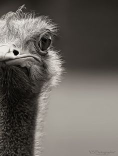 Ostrich. Mostly. Or someone lost hair. Or doesnt get eyebrows done. Got s bad nose job done though.