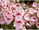 Diascia / Tvillingblomst er en smuk oghårdfør sommerplante. Planterne vokser hurtigt og de blomstrer konstant med et hav af yndige blomster.  BREEZEE-sorterne vil gerne have meget dagslys og vokser allerbedst i direkte sol, men er samtidig meget modstandsdygtige i storm- og regnvejr. De fleste sorter er kompakte, oprette til let hængende med kuppelformet vækst. Blomsterne er lette og yndige med en overdådig blomstring hele sommeren igennem.   Diascia Breezee er dejlige pl…