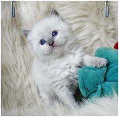 kocięta - Hodowla Kotów Ragdoll