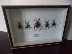 5 Real Frog Legged Beetles Insect Bug Display by amazinginsects