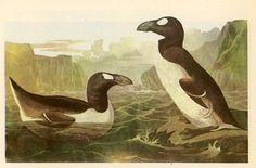 1950 extinct great auk original vintage bird by antiqueprintstore