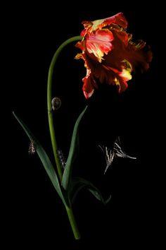 Bas Meeuws, serie 'Tulpenboek', 2012