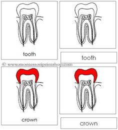 Tooth Nomenclature Cards: 9 Parts of the Tooth in 3-Part Cards, includes Black-Line Master.