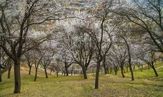 Cherry Blossom in Hunza Valley. #Pakistan