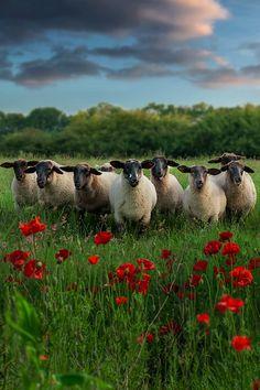 Moutons dans un coquelicot | Photos A