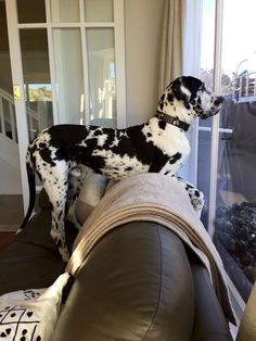 """Explore our internet site for additional information on """"great dane puppies"""". It is an excellent place to read more. Great Dane Funny, Great Dane Dogs, I Love Dogs, Best Dogs, Cute Dogs, Weimaraner, Doberman, Great Dane Information, Cute Dog Costumes"""