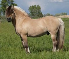 Norwegian Fjord horse is the horse portrayed in the new Disney movie Frozen. Their manes really are pale with a dark stripe down the middle. It is traditionally roached (cut short) to show off the lines of the neck.