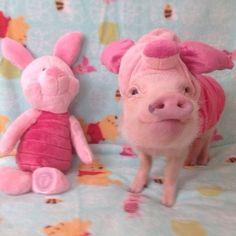 Miniature Pet Pigs – Why Are They Such Popular Pets? – Pets and Animals Teacup Piglets, Baby Piglets, Cute Piglets, Cute Baby Pigs, Cute Baby Animals, Funny Animals, Farm Animals, Mini Pigs, Pet Pigs