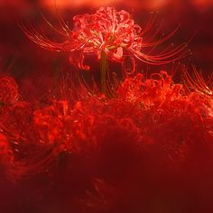 Carla Tsukinami, Beautiful Flowers, Beautiful Pictures, Exotic Flowers, Red Spider Lily, Red Aesthetic, Flowers Nature, Color Of Life, Clematis